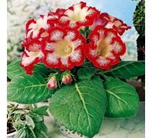 Gloxinia Tigrina red