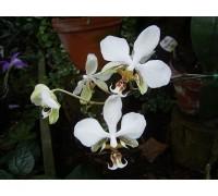 Phalaenopsis stuartiana 9 горшок