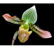 Paph. venustum  9 горшок