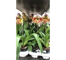 Пафиопедиум тигер крупноцветковый 12 горшок