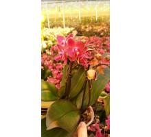 Красная мультифлора 2 цветоноса 12 горшок