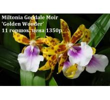 Miltonia Goodale Moir 'Golden Wonder' 11 горшок, не цветущие