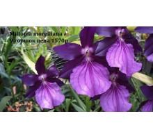 Miltonia morelliana 9 горшок, не цветущие