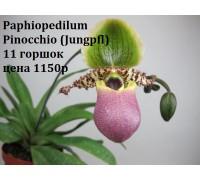 Paphiopedilum Pinocchio (Jungpfl)  11 горшок, не цветущие