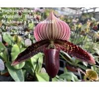 Paphiopedilum Vinicolor 'Black Madonna' x P sukhakulii 9 горшок ,не цветущий