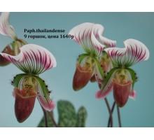 Paph.thailandense 9 горшок , не цветущие