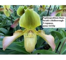 Paphiopedilum Hans Strahl x Bidborough 9 горшок, не цветущие