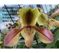 Paphiopedilum Hans Strahl x Lippewunder    9 горшок , не цветущие