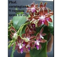 Phal.corningiana 9 горшок , не цветущие