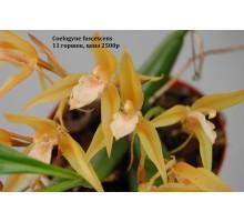 Coelogyne fuscescens 11 горшок , не цветущие