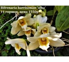 Bifrenaria harrisoniae 'alba' 11 горшок, не цветущие