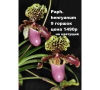 Paph. henryanum 9 горшок цена 1490р не цветущие