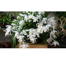 Coelogyne cristata 12 горшок цена 2100р не цветущие