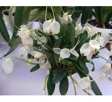 "Masdevallia tovarensis подросток производство Европа в 1,7""(приезжали во мху)"