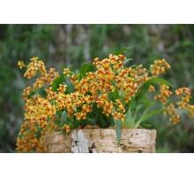 "Oncidium ´Tiny twinkle´ Anna размер 1,7"" подросток цена 350р"