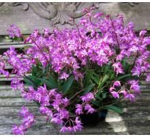 """Dendrobium kingianum размер 1,5"""" подросток, ароматный при цветении"""