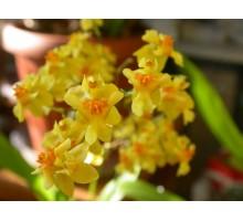"""Oncidium twinkle laura размер 1,7"""" подросток, очень ароматный при цветении!"""