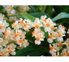 """Oncidium twinkle Jasmin размер 1,7"""" подросток, очень ароматный при цветении! Зацветают очень быстро с подростков"""
